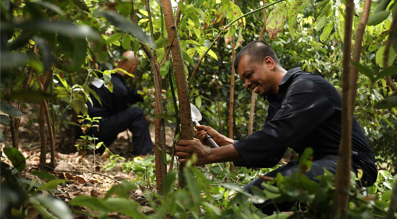 Well-trained harvesters at Maturata Plantations