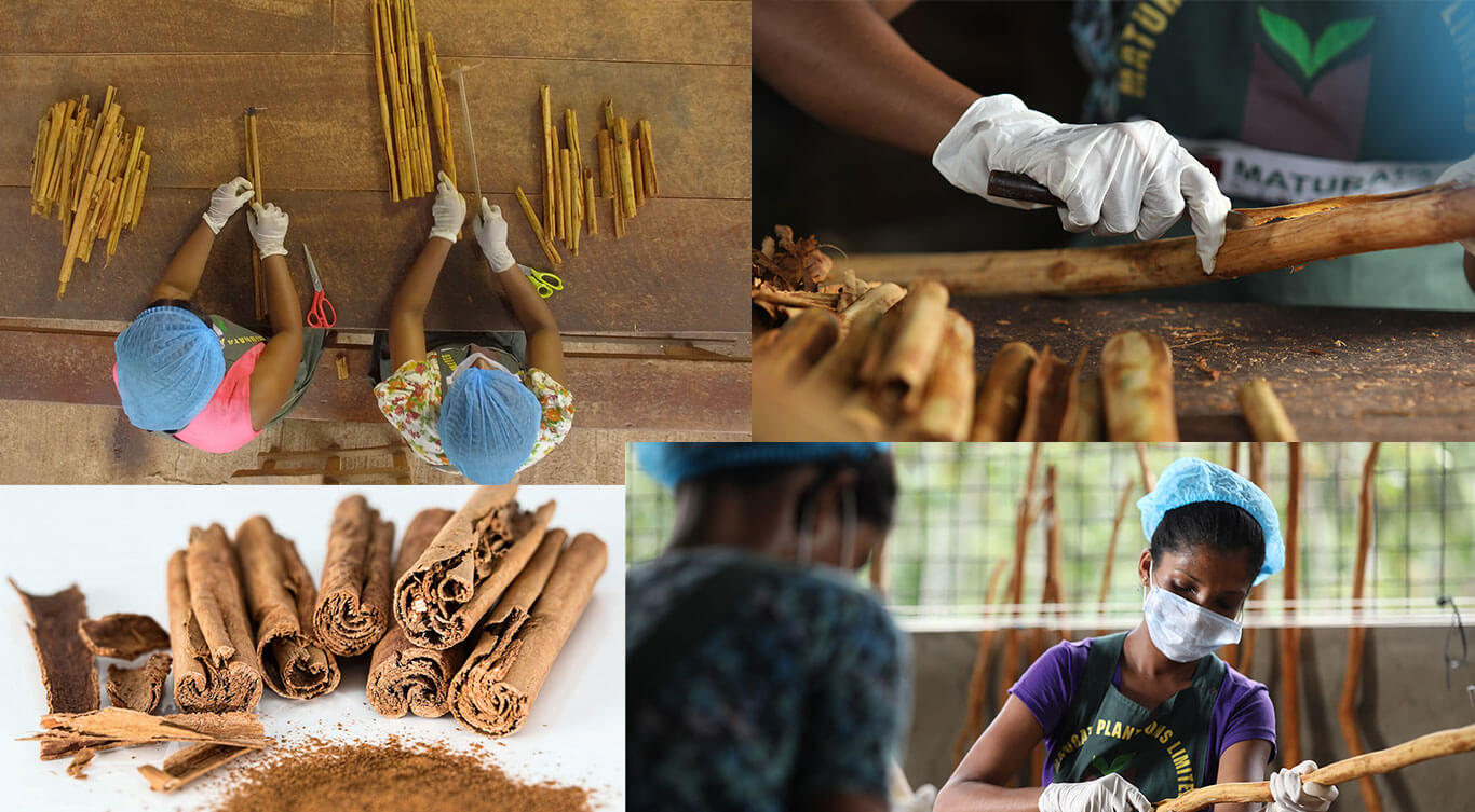 harvesting and production of cinnamon by Maturata Plantations